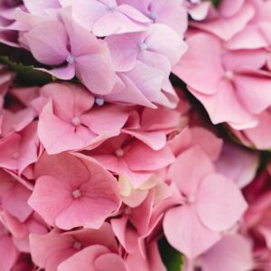 Beautiful pink and purple hydrangea flowers at home